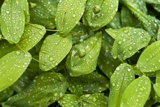 Green leaves (c) Björn Fogelberg